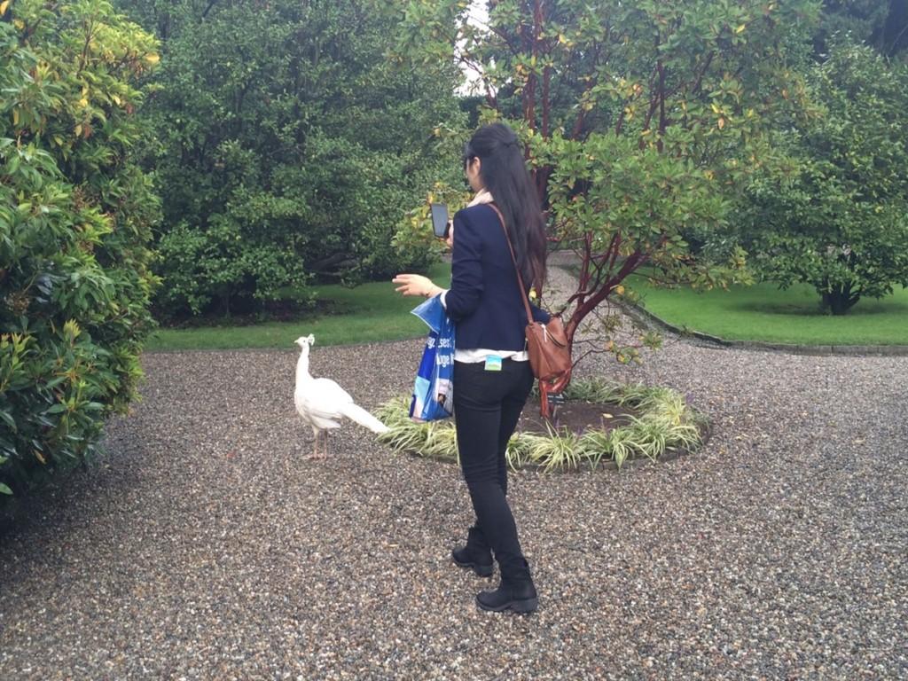 庭園名物の白いクジャクに遭遇。わたし撮影中…